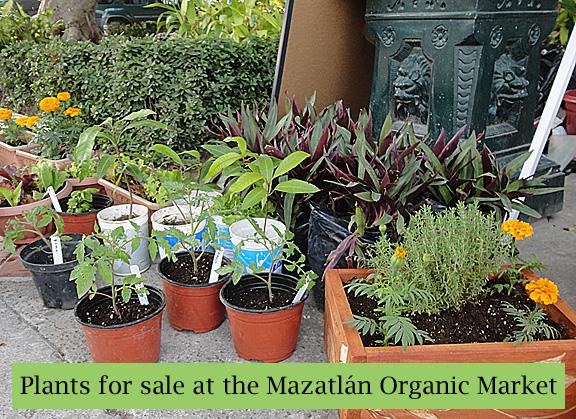 Mazatlan Organic Market Plants