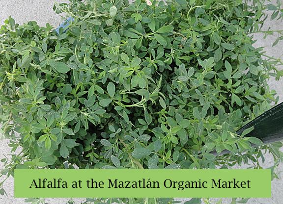 Mazatlan Organic Market Alfalfa