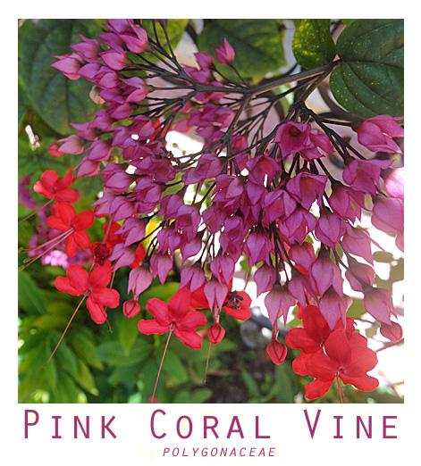 coralvine