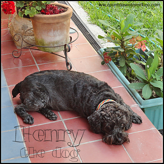 Henry the Dog Schnoodle