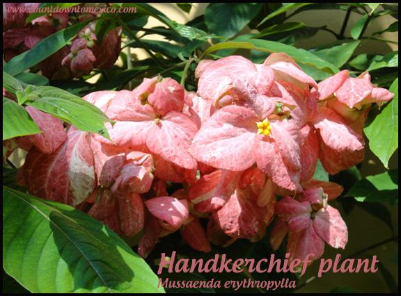 Mussaenda Handkerchief plant