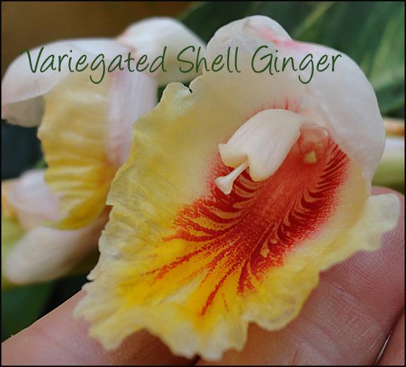 shellginger2
