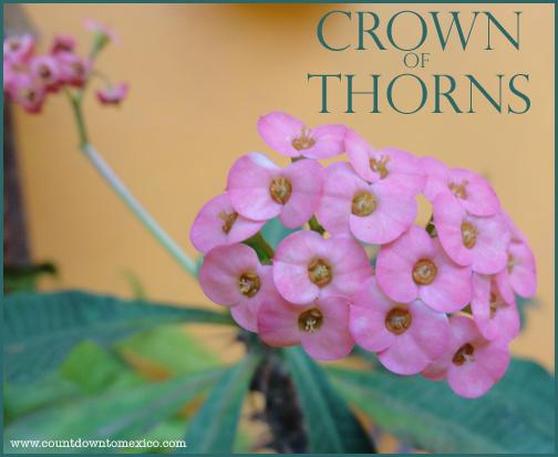 crownofthorns2