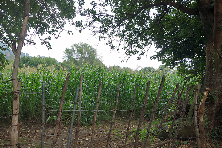 Corn growing nearby